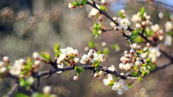 Thumbnail for Spring Flowering Of Fruit Trees