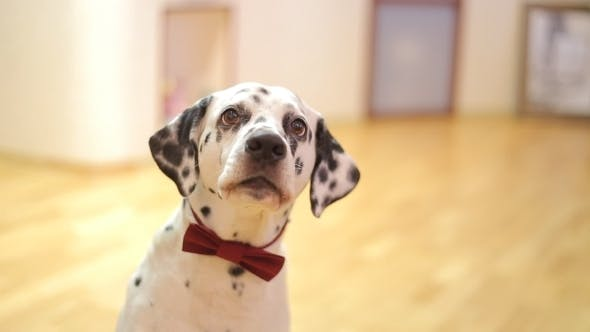 Thumbnail for Dog Breed Dalmatian Dog Looking At The Camera