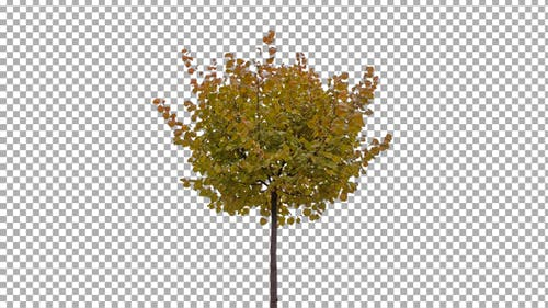 Real Tree Isolated on the Wind 54 Autumn (Stock Footage)