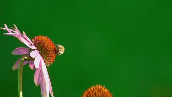 Cover Image for Bumblebee On a Echinacea Flower