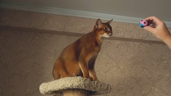Cover Image for Abyssinian Cat Playing