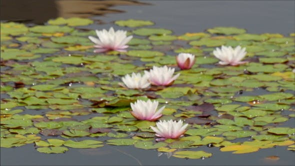 Thumbnail for The White and Pink Water Lilies Floating in the Lake