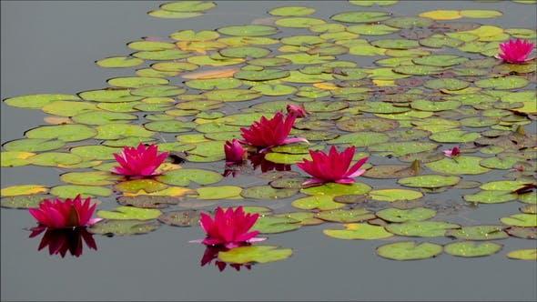Thumbnail for Die grünen Seerosen auf dem See