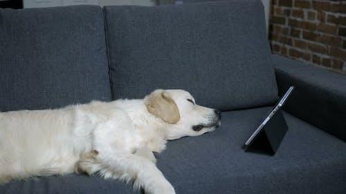 Purebred Labrador Retriever Dog Sleeping on Sofa