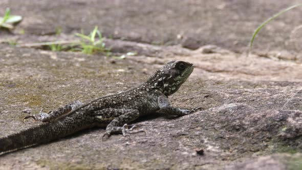 Thumbnail for Agama africana lizard in Guinea