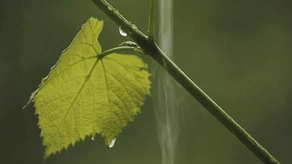 Thumbnail for The Bush Vine in The Rain