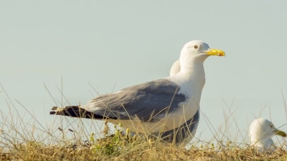 Thumbnail for Animals In The Wild: Seagulls