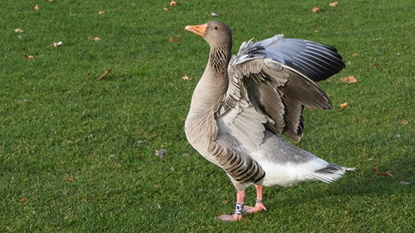 Gray Goose On Green Grass