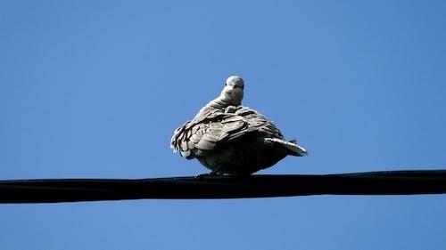 Vogel Eurasischer Halsband Taube
