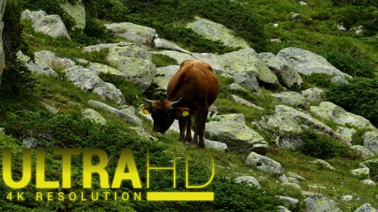 Thumbnail for Cows on a Hill in the Mountains 1