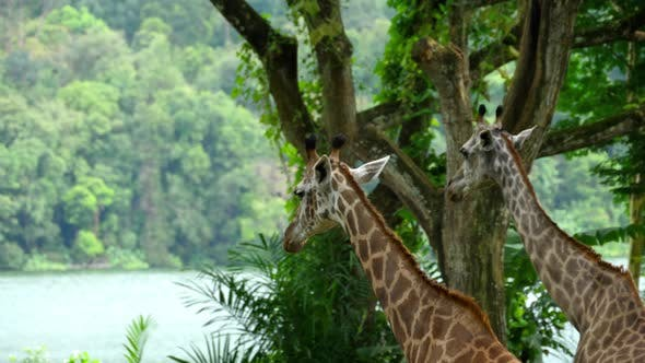 Thumbnail for Two Giraffes in Savannah