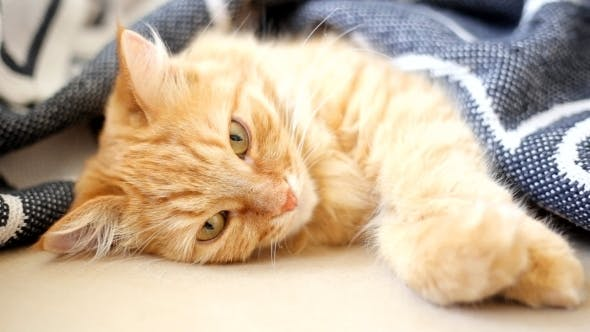 Thumbnail for Ginger Cat Lies On Bed. Cute Cozy Bedtime At Home.
