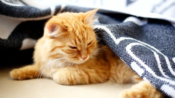 Thumbnail for Ginger Cat Lies On Bed