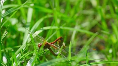 Red Dragonflies Mate
