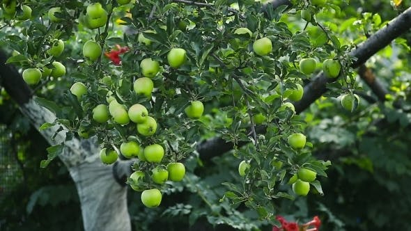 Thumbnail for Green Apples On a Tree