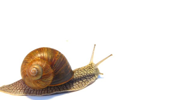 Thumbnail for Snail Crawling On A White Background