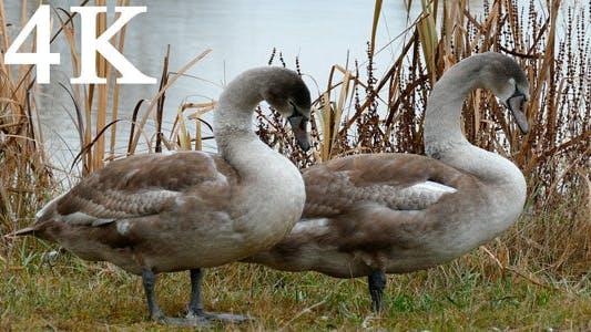 Thumbnail for Grey Swan