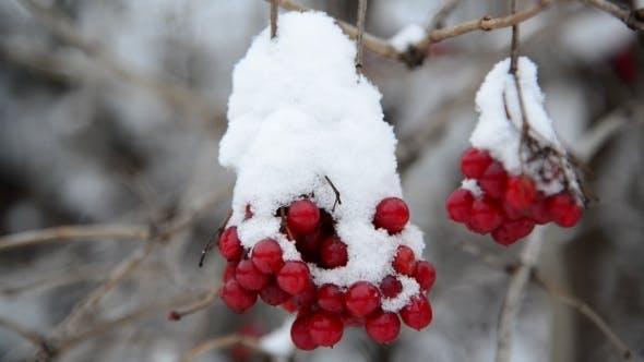 Thumbnail for Viburnum Berries Covered In  Snow At Wintertime.
