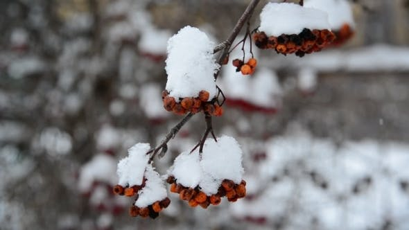 Thumbnail for Rowan Berries Covered In Snow At Wintertime
