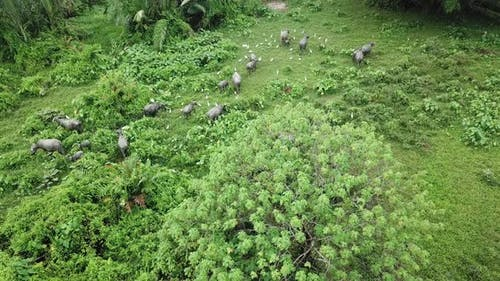 Aerial view herd of buffalo and egrets walk