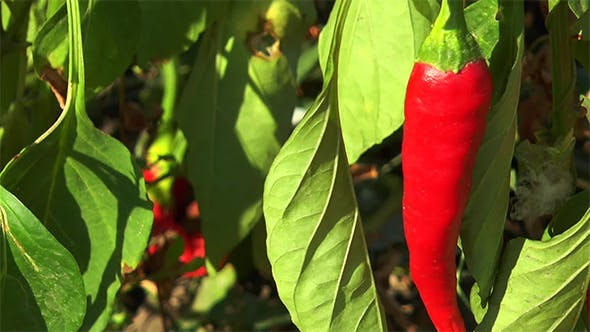 Thumbnail for Red Chili Peppers in the Leaves