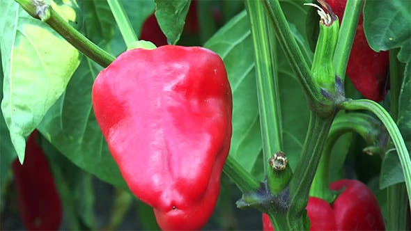 Thumbnail for Red Pepper on the Branch