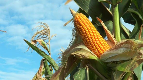 Maïs sur la tige dans le champ