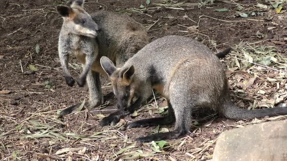 Swamp Wallaby Adult Immature Several Bonding Affection