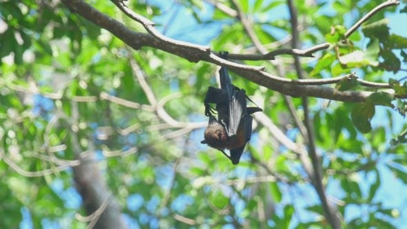 Thumbnail for Flying Fox Resting