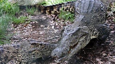 Mating Crocodiles