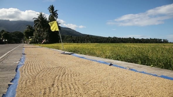 Thumbnail for Rice Is Dried On The Road In Outdoors.