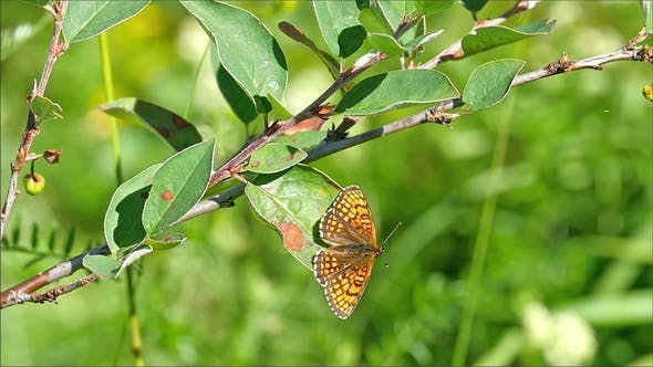 Thumbnail for The Orange Butterfly on a Leaf then Fly Away