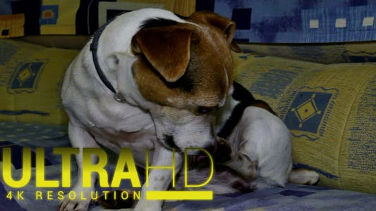 Thumbnail for Jack Russell Terrier 1