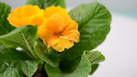 Thumbnail for Flower
