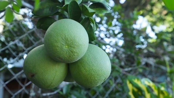 Thumbnail for Pomelo Fruit On The Tree