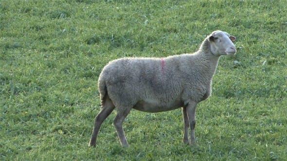 Sheep Singing