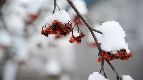 Thumbnail for Rowan Berries Covered In Snow At Wintertime.