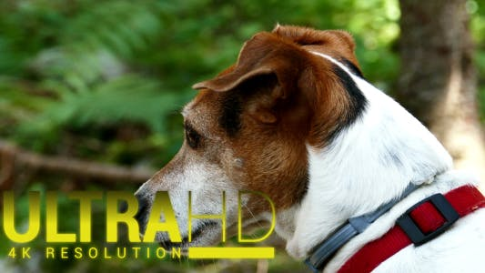 Thumbnail for Jack Russell Terrier Portrait 1
