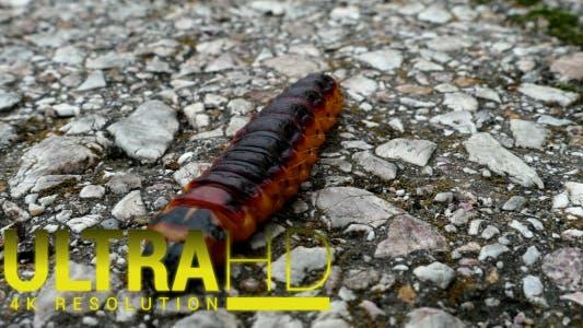 Thumbnail for Large Caterpillar 1