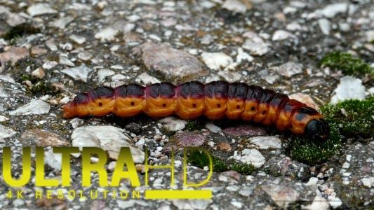 Thumbnail for Large Caterpillar 2