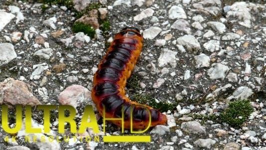 Thumbnail for Large Caterpillar 5