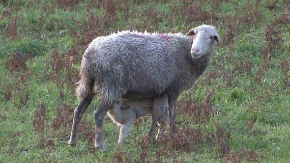 Thumbnail for Sheep Milk