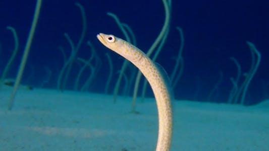 Cover Image for Underwater Beautiful Garden Eels