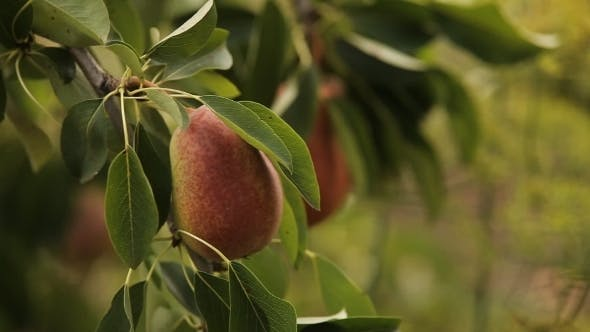 Thumbnail for Ripe Pears On a Tree In The Sunshine