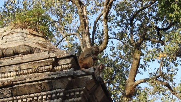 Thumbnail for Monkey Eating a Banana On An Ancient Temple