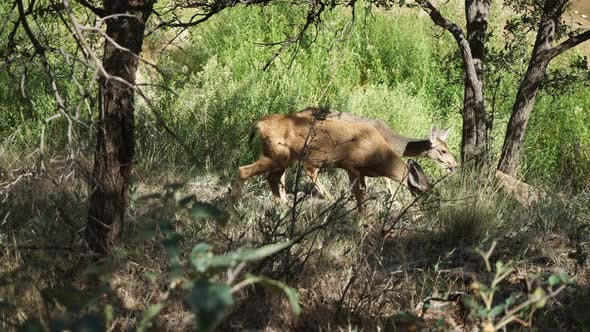 Thumbnail for Deer Grazing In Zion National Park 2
