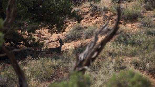 Thumbnail for Deer Rest In The Shade At Arches National Park 2