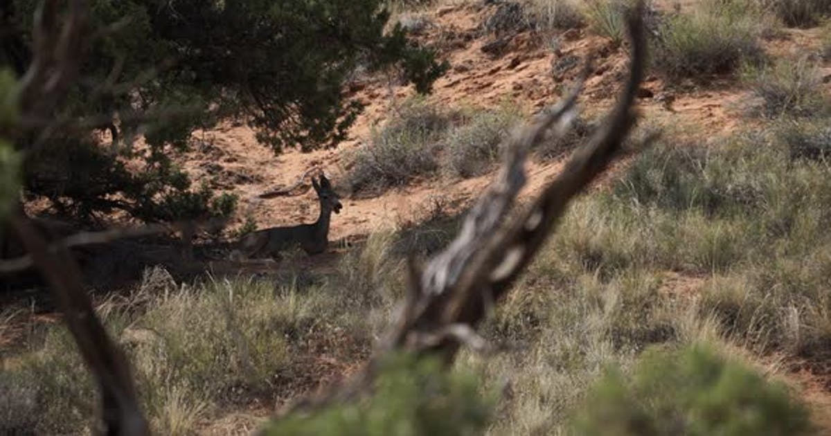 Deer Rest In The Shade At Arches National Park 2