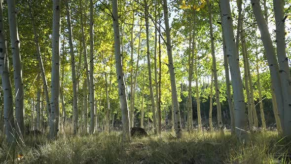 Thumbnail for Dolly Shot Of Aspen Tree Forest 10