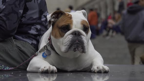 Thumbnail for Bulldog Resting In New York City 2
